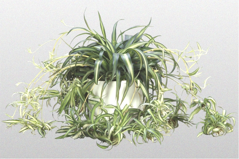 Killing the spider plant suburban guerrilla susie madrak for Are spider plants poisonous to cats