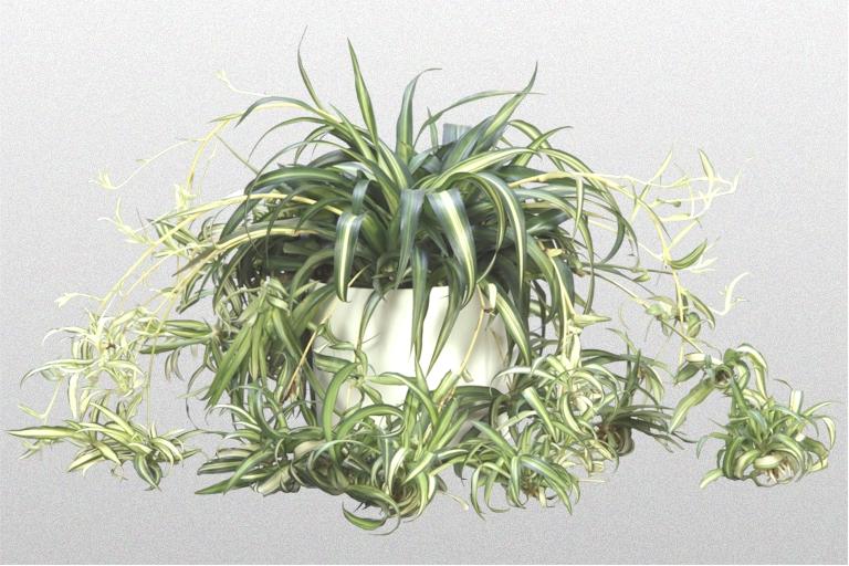 pin spider plant on pinterest. Black Bedroom Furniture Sets. Home Design Ideas